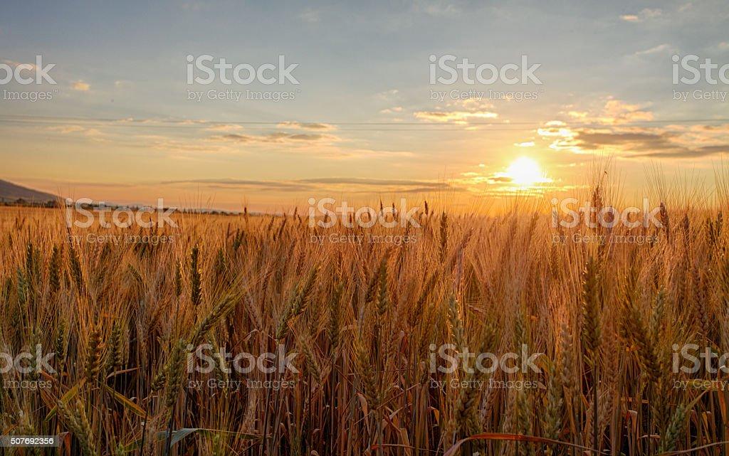 Sunset over wheat field. stock photo