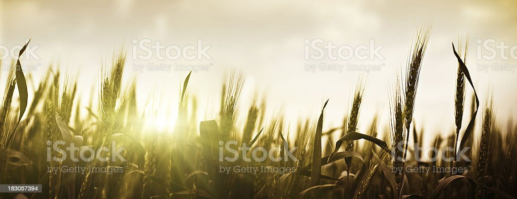 Sunset over wheat royalty-free stock photo