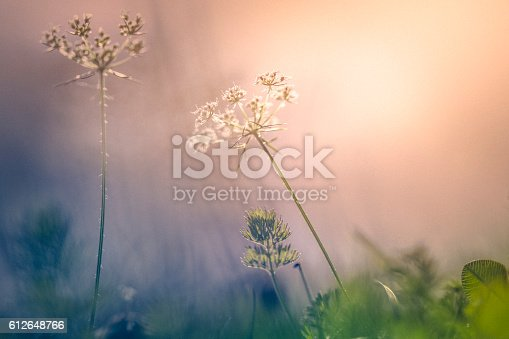 1135260918 istock photo Sunset over wildflowers in the field 612648766