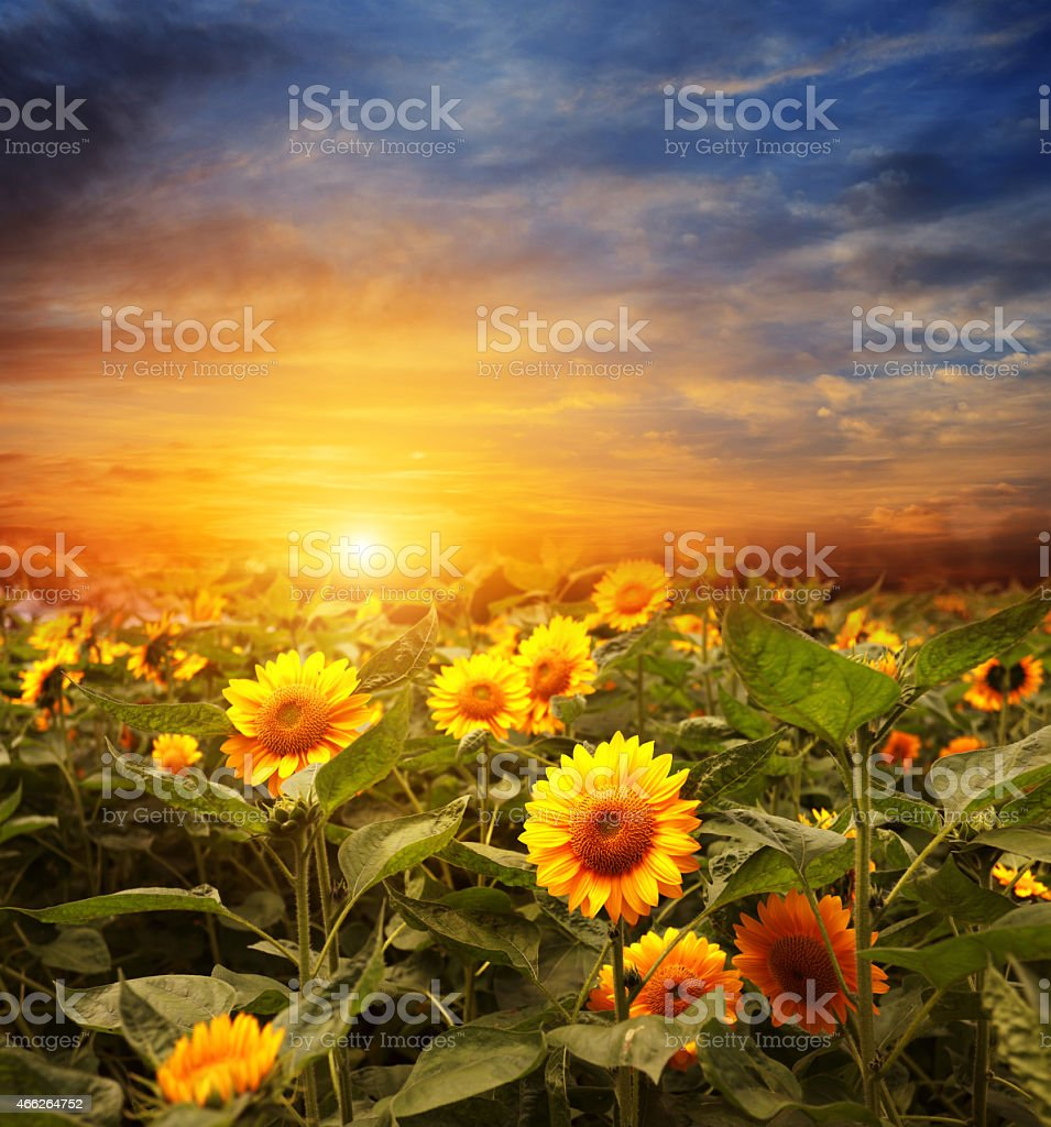 Sunset rats gleaming off blooming sunflowers stock photo