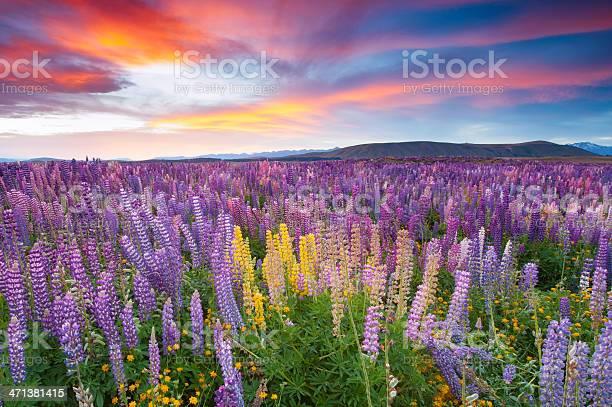 Photo of Sunset scene in the flower field