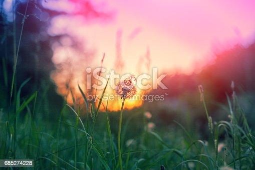 Sunset scene, wild nature, dandelion parachute against pink sunset sky