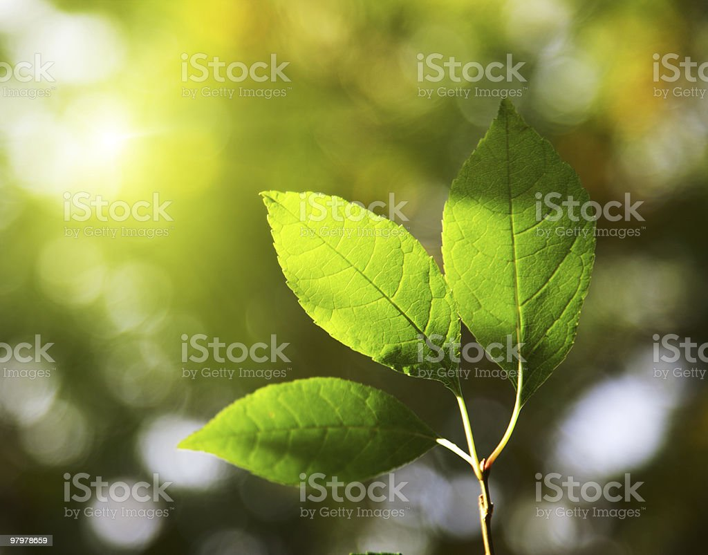Sunset shining light on a branch with three leaves royalty-free stock photo