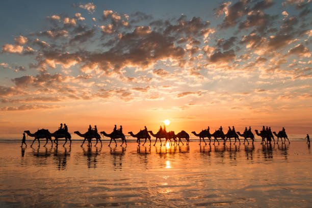 sunset silhouette of the camels on cable beach, broome, western australia. - western australia stock pictures, royalty-free photos & images