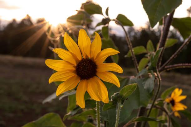Sunset Sunflower stock photo