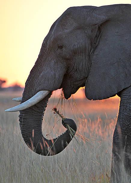 sunset abendessen, botswana - elefanten umriss stock-fotos und bilder
