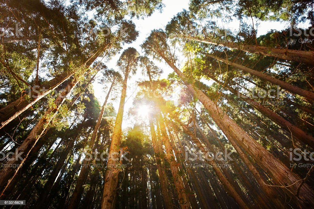 Sunset through Japanese forest low angle view stock photo