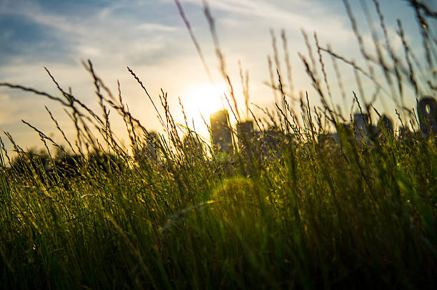 Sunset through tall grass with skyline in background stock photo