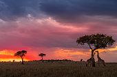 This image of Giraffe is taken at Masai Mara in Kenya.