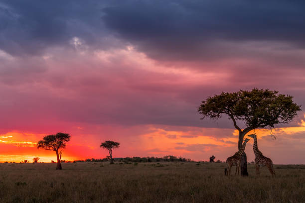 Sunset To Die For! This image of Giraffe is taken at Masai Mara in Kenya. masai mara national reserve stock pictures, royalty-free photos & images