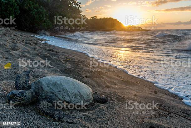 Sunset turtle picture id636762710?b=1&k=6&m=636762710&s=612x612&h=2hqjvohayah3uobs5zzl5ssmigd v3qvqlr11c3nmn4=