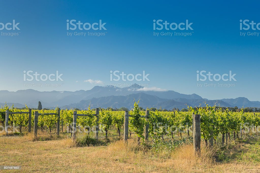 Sunset view on vineyard and distant mountains stock photo