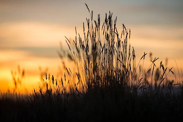 Sunset Wheat stock photo