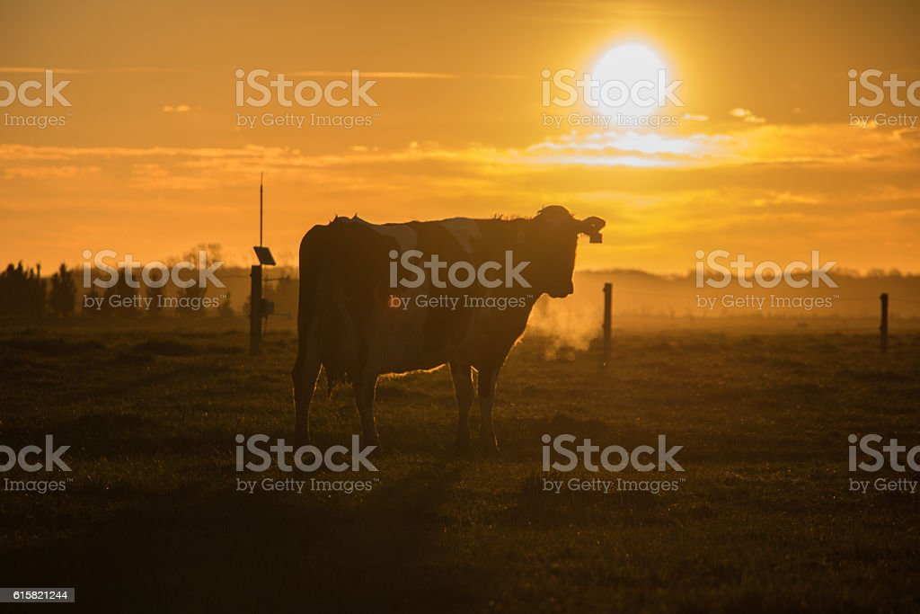 Sunset with a cow stock photo