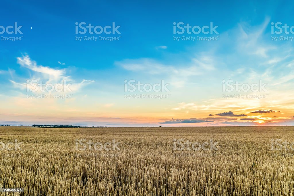 Sunset with blue sky over a field of ripe cereals. Agriculture background. stock photo