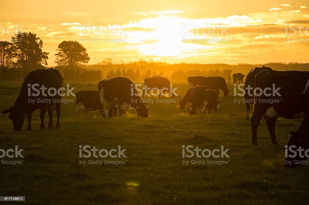 Sunset with cows on the pasture stock photo