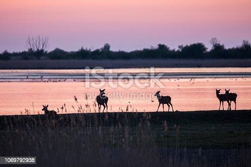 Deer are silhouetted in beautiful sunset landscape on lakeside. Nature conservation area Oostvaardersplassen, Netherlands