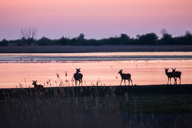 sunset with deer silhouettes on lakeside. nature conservation area oostvaardersplassen, netherlands - nature reserve stock photos and pictures
