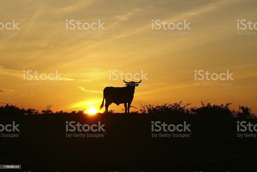 Sunset with Longhorn steer stock photo