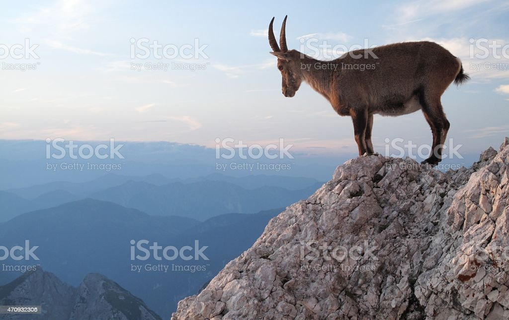 sunset with mountain goat stock photo