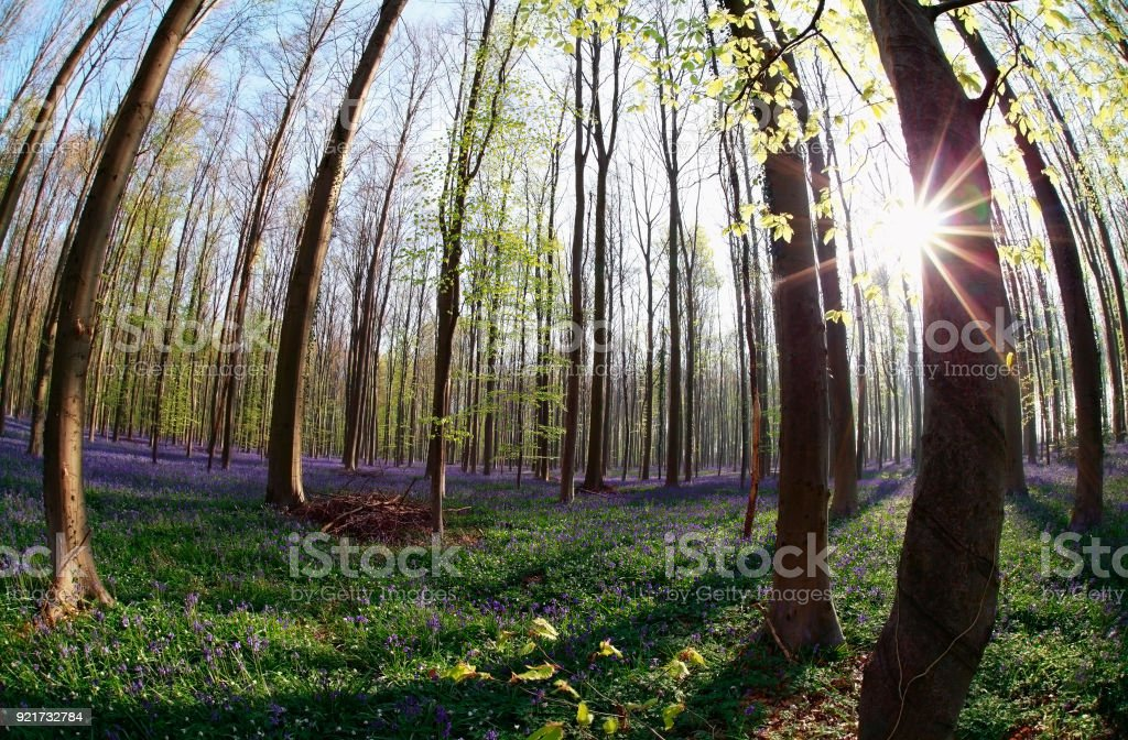 sunshine in flowering forest in spring, Hallerbos stock photo