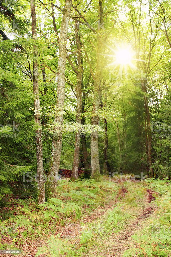 Sunshine in the forest. royalty-free stock photo
