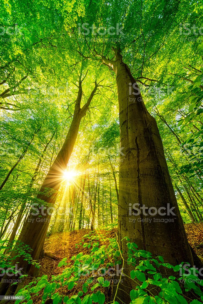 Sunshine in the forest stock photo