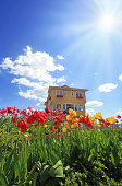 Sun rays shining down on a bed of tulips in front of a house.