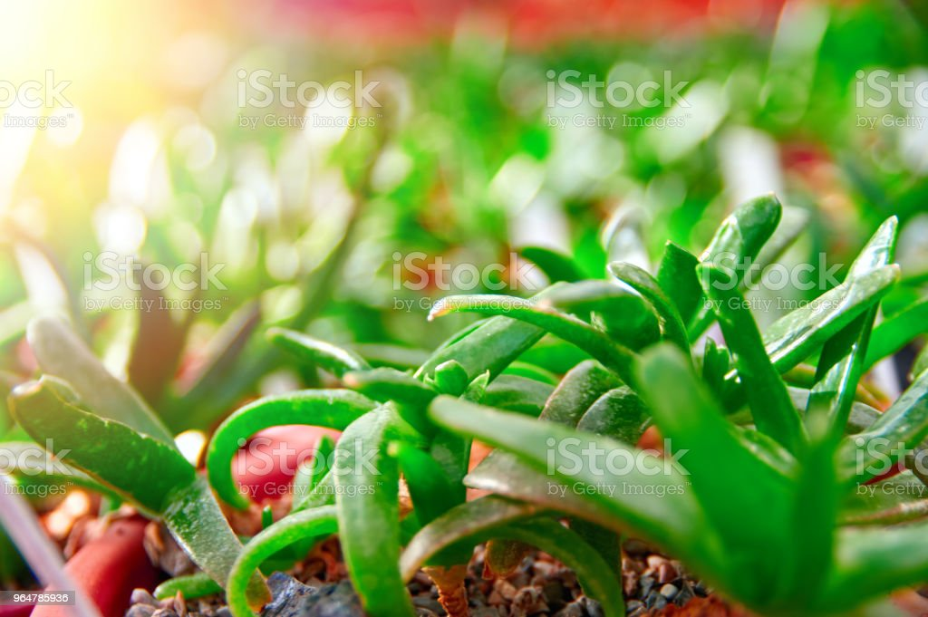 Sunshine on green succulents. Nature plant wallpaper. Juicy bright succulents in the sun royalty-free stock photo