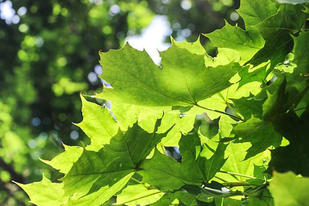 sunshine on leaves of plane tree – Foto