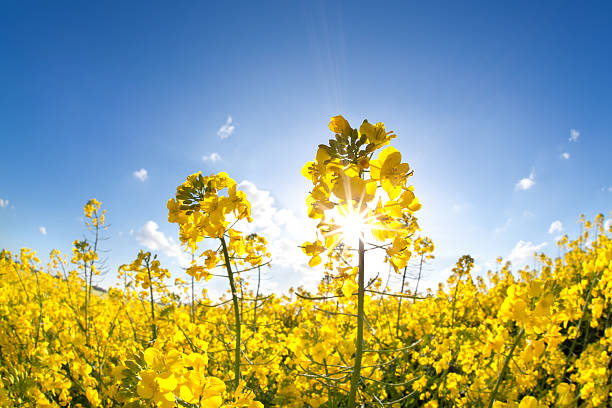 sunshine on yellow rapeseed oil flower field sunshine on yellow rapeseed oil flower field over blue sky canola stock pictures, royalty-free photos & images