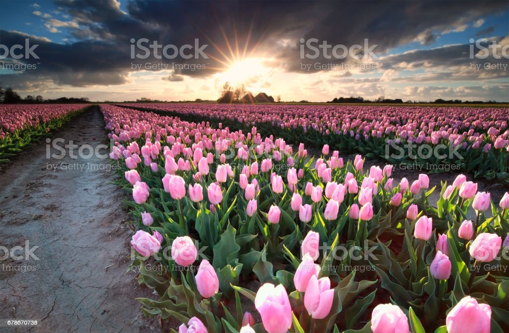 Sunshine over field with pink tulips, Holland​​​ foto