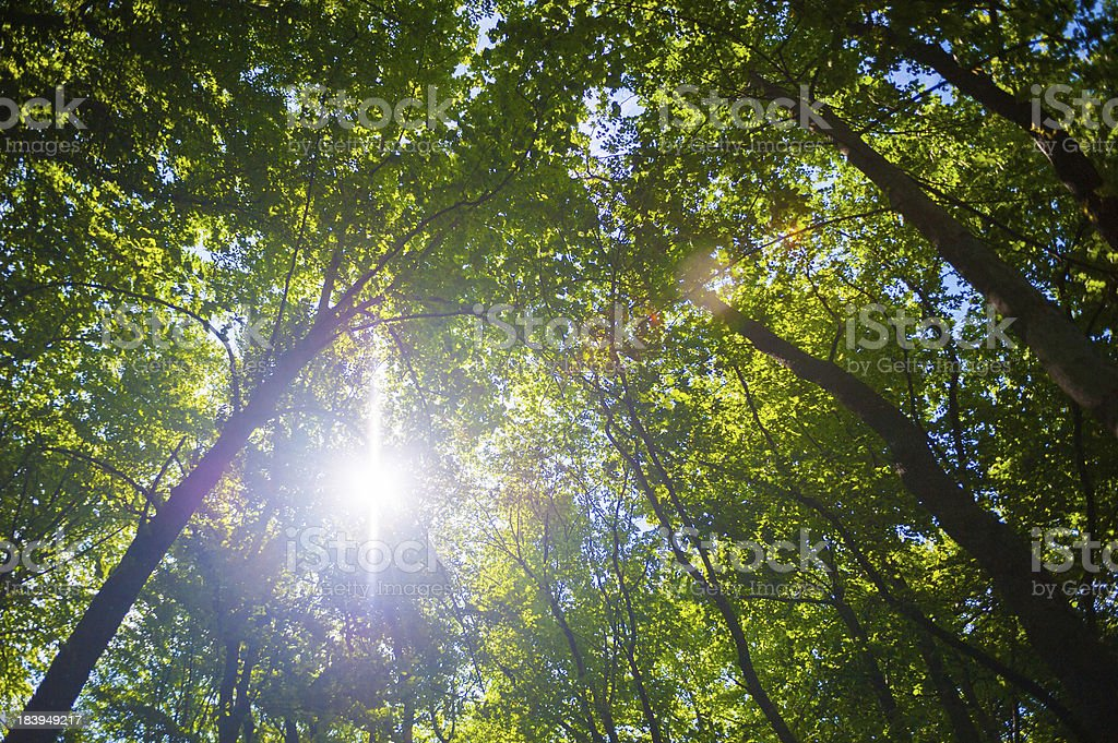Sunshine rays through tall forrest trees royalty-free stock photo