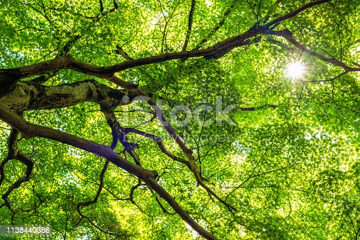 The sun shining through the fresh green leaves of a maple tree in Japan.