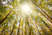 Frog perspective image of tall trees with sunrays in Belgian forest on a warm october day. Autumn or fall season.