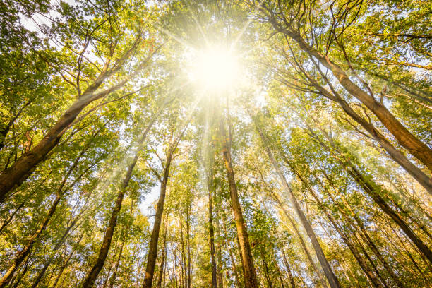 sunshine through the tall trees of a deciduous forest on a beautiful fall day in belgium. - deciduous stock pictures, royalty-free photos & images