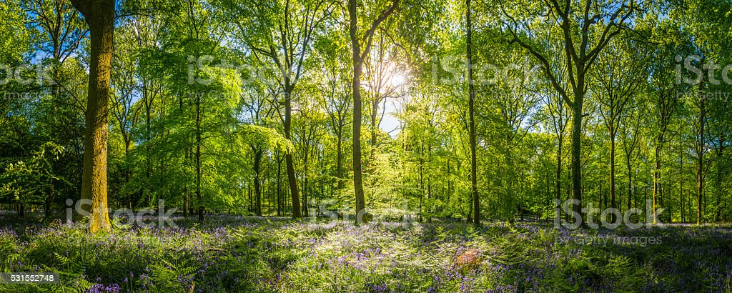 Sunshine warming idyllic woodland glade green forest ferns wildflowers panorama stock photo