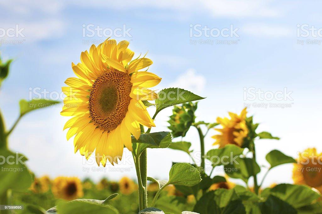 Sunward Sunflower royalty-free stock photo