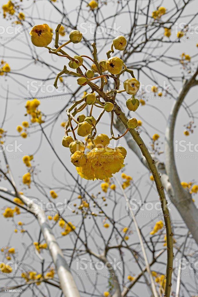 Supannika - yellow cotton tree royalty-free stock photo