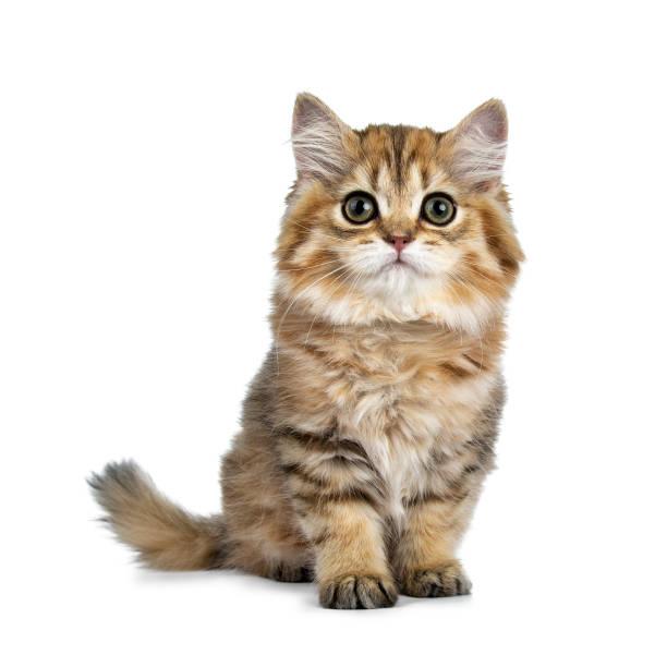 Chaton super adorable chat poil long britannique doré assis directement en face, à la recherche de curieux à huis clos avec de grands yeux verts, isolé sur fond blanc - Photo