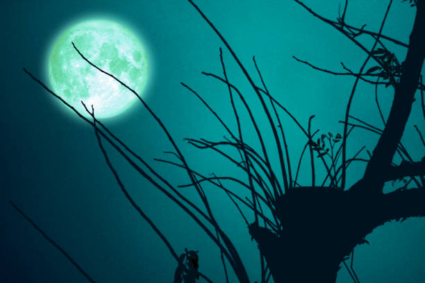 Super Beaver Moon on dark sky and silhouette dry tree at the night stock photo