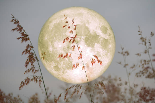 Super Beaver Moon on sky and silhouette glass flowers at the night stock photo