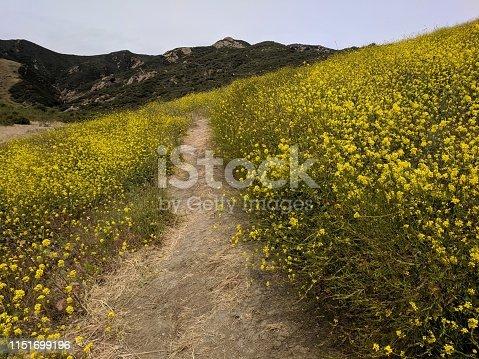 Yellow super bloom in santa barbara california on wind tunnels trail in gaviota on the coast