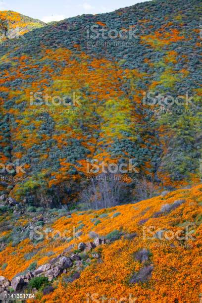 Super Bloom Lake Elsinore Ca Stock Photo - Download Image Now
