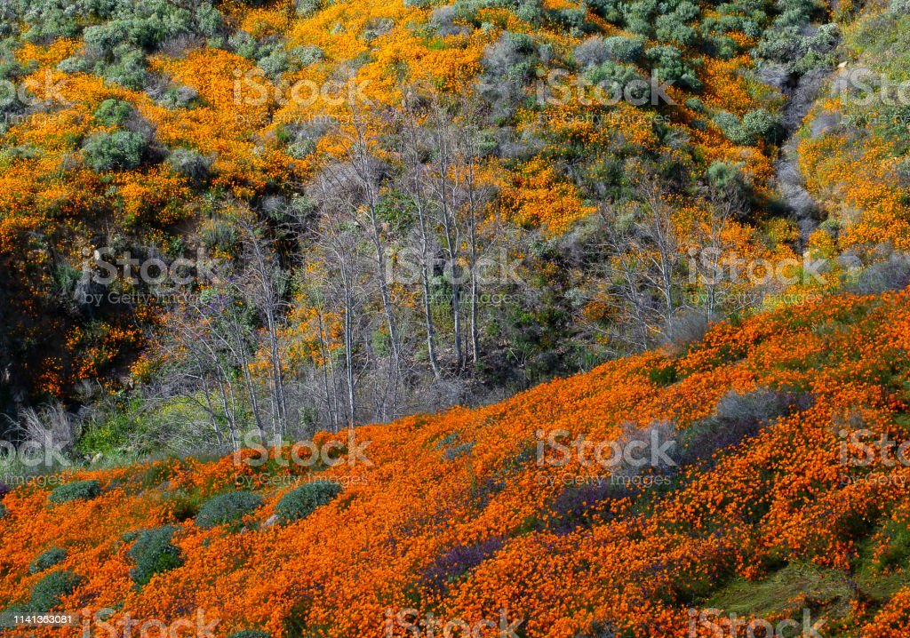 Super Bloom Lake Elsinore, Ca. Super Bloom 2019 Backgrounds Stock Photo