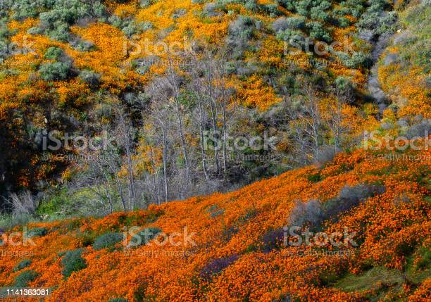 Super Bloom Lake Elsinore Ca Stock Photo - Download Image Now
