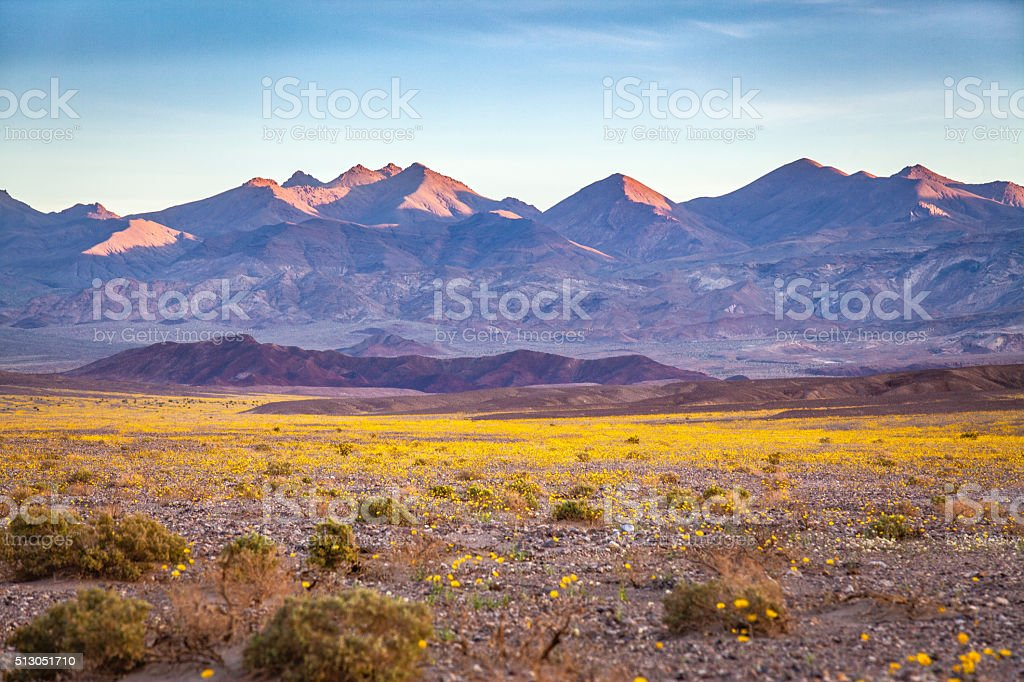 Super Bloom Of Desert Gold Desert Wildflowers, Death Valley stock photo