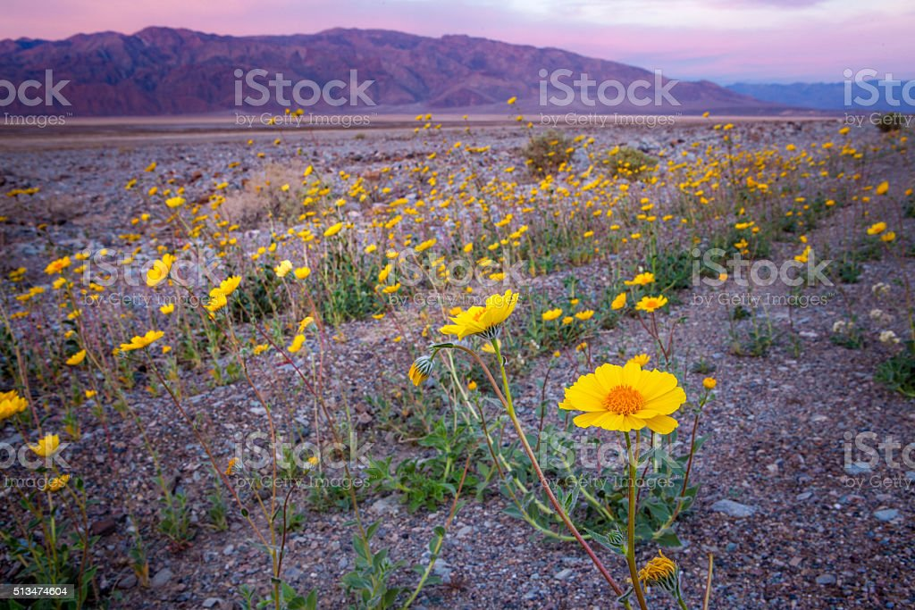 Super Bloom Of Desert Gold Wildflowers At Sunrise, Death Valley stock photo