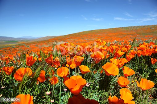 Vibrant orange super bloom hillside of California Poppies in the Antelope Valley