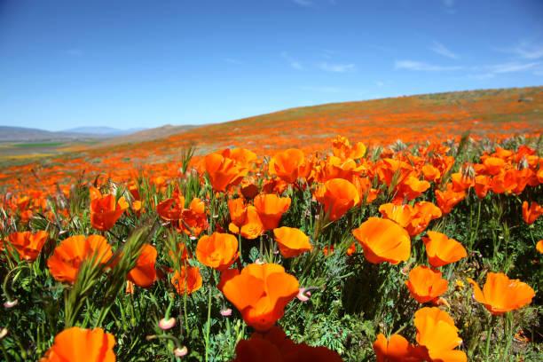 super blüte orange california poppies - mohn stock-fotos und bilder